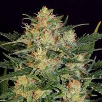 Russian Fuel Autoflowering Feminised Seeds