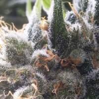 Barbara Bud Regular Seeds