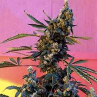 Deedee BX1 Regular Seeds