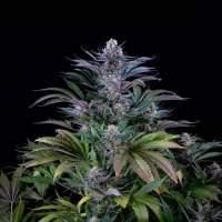 Super Silver Hash Plant Regular Seeds