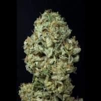 Dinamex  Auto  Dina Feminised  Cannabis  Seeds