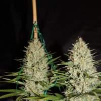 Silver Mountain Regular Seeds