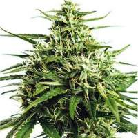 Formula One Autoflowering Feminised Seeds