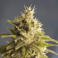Ghani AF (Formerly GG #1) Feminised Seeds