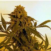 Guillotine Autoflowering Feminised Seeds