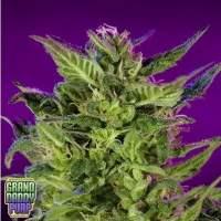 Purple Valley OG Regular Seeds