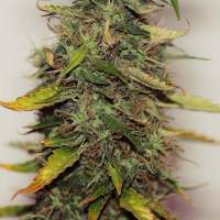 Purple Sirius Kush Autoflowering Feminised Seeds