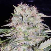 Sour Bubbly Feminised Seeds -1 Seeds