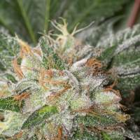 X Dinafem  Bubba  Kush 02 4569  Gallery  Full 660x933  Jpg  Pagespeed  Ic   K H O Abp O  Ao